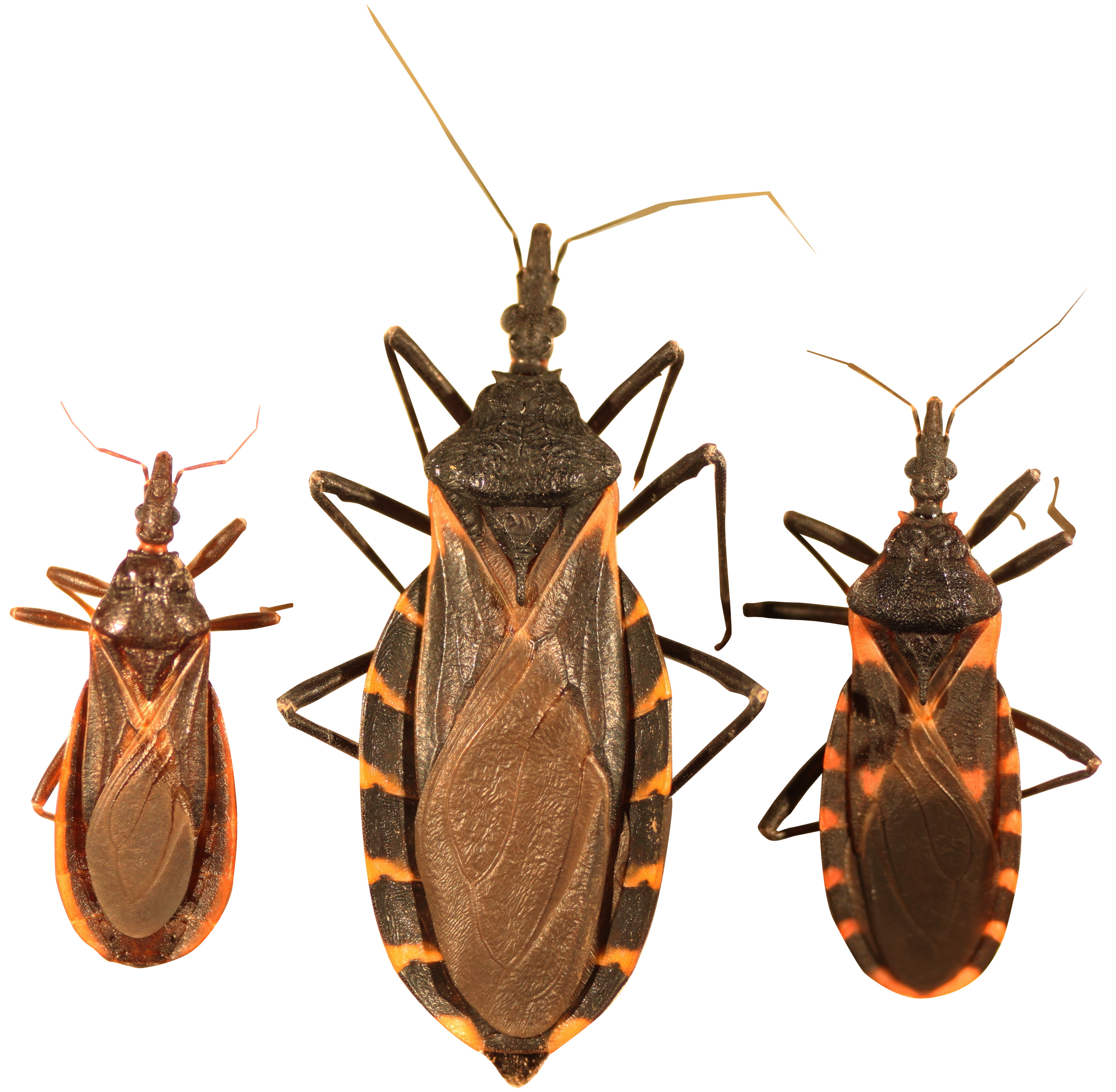Conenose or Kissing Bugs