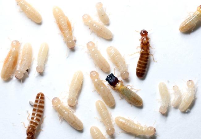 West Indian Drywood Termite