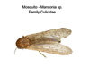 Mansonia mosquitoes
