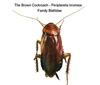 Brown Cockroach