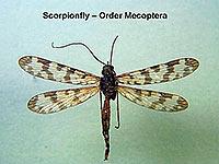 Scorpionfly 3