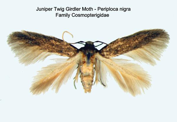 Juniper Twig Girdler