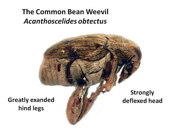 Bean Weevil