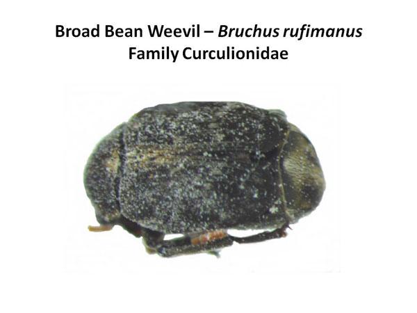 Broadbean Weevil