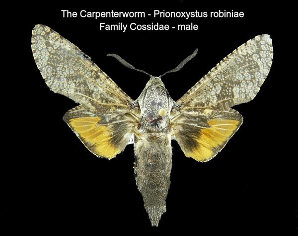 Carpenterworm
