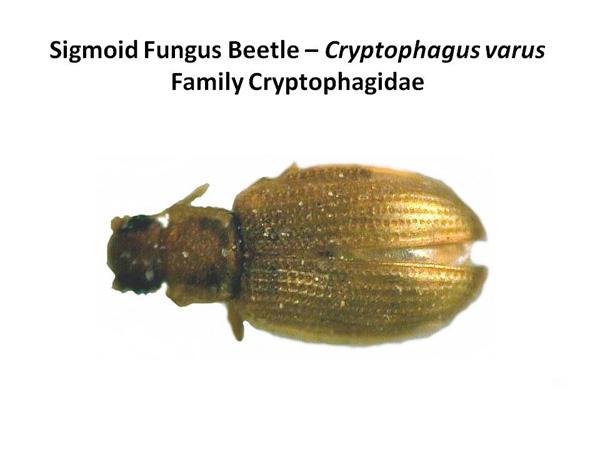 Silken Fungus Beetles
