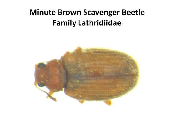 Minute Brown Scavenger Beetles