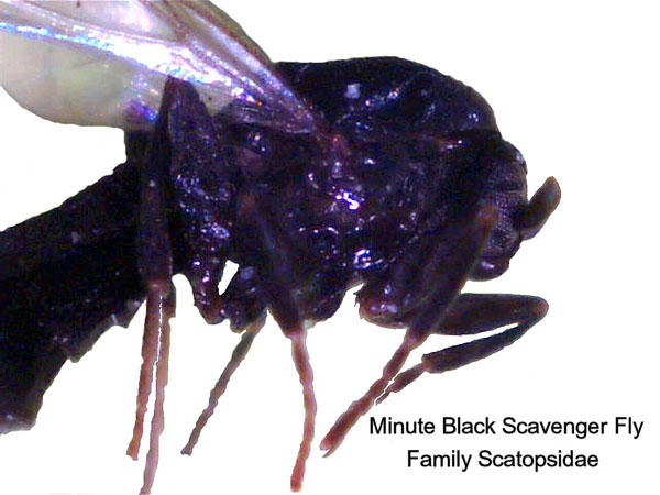 Minute Black Scavenger Flies