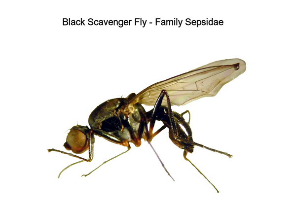 Black Scavenger Flies