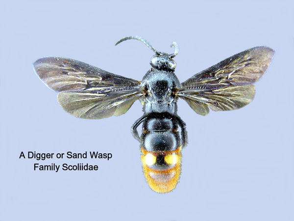 Scoliid Wasps