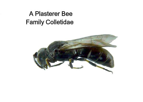 Plasterer Bees
