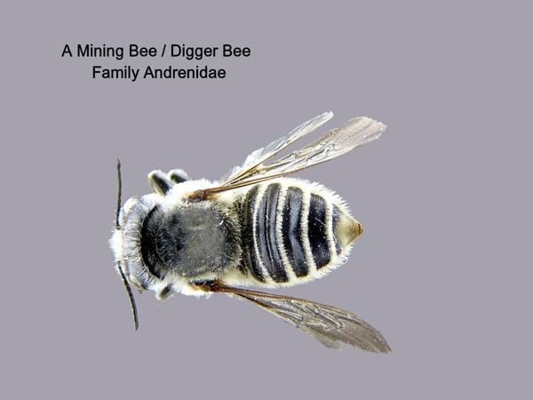 Digger or Mining Bees