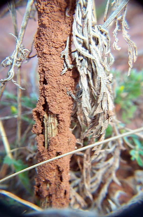 Desert Subterranean Termites
