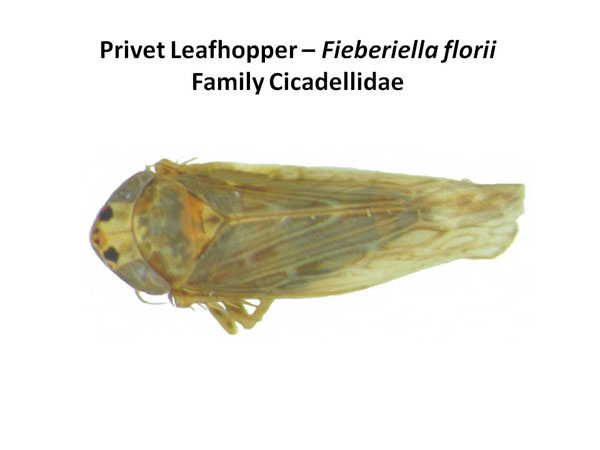 Privet leafhopper