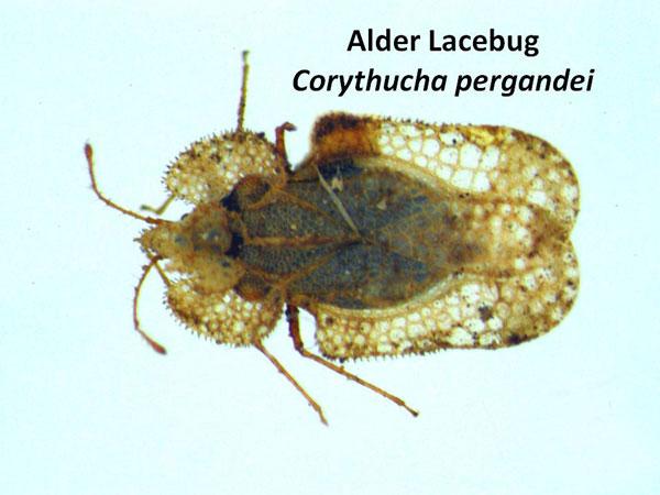 Alder lace bug