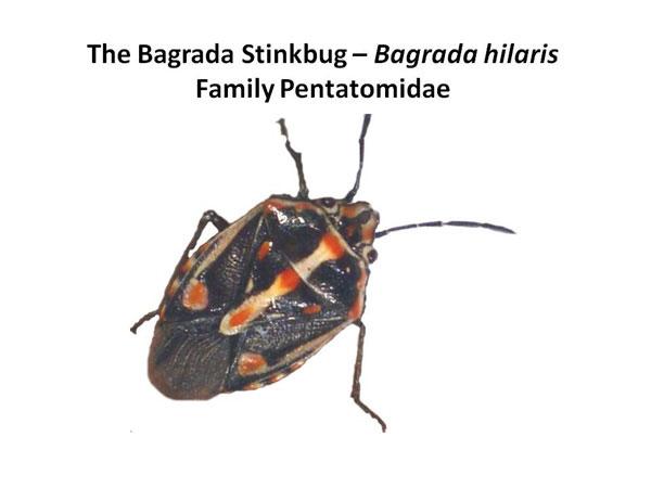 The Bagrada bug