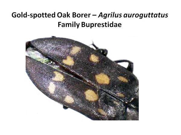 Gold-spotted oak borer