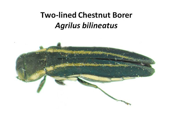 Two-lined chestnut borer