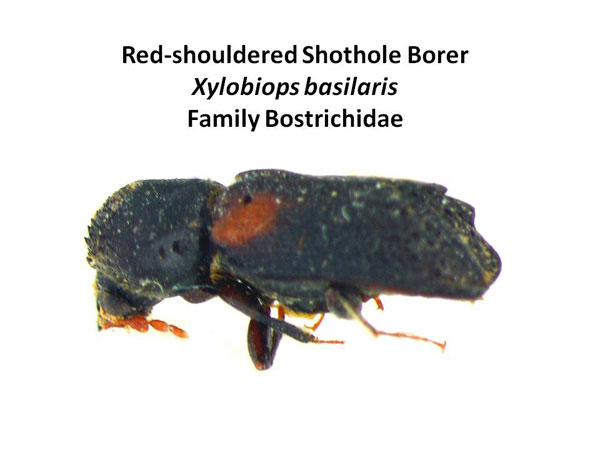 Red-shouldered shothole borer