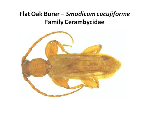 Flat Oak Borer