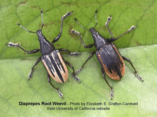 Diaprepes root weevil
