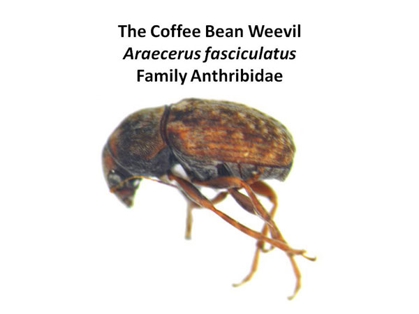 Coffee Bean Weevil