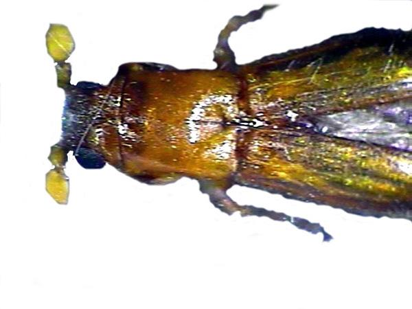 Platypodid Ambrosia Beetle
