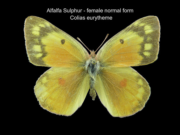 Alfalfa Sulphur Butterfly