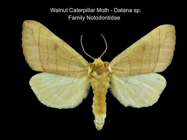 Walnut Caterpillar