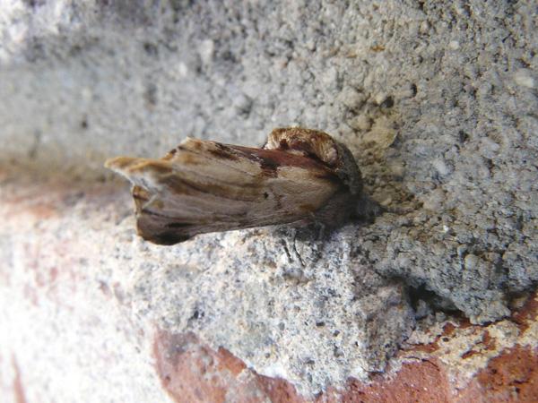 Redhumped Caterpillar