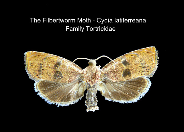 Filbertworm