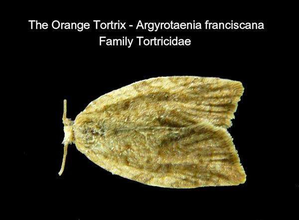 Orange Tortrix
