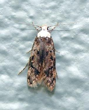 Whiteshouldered House Moth