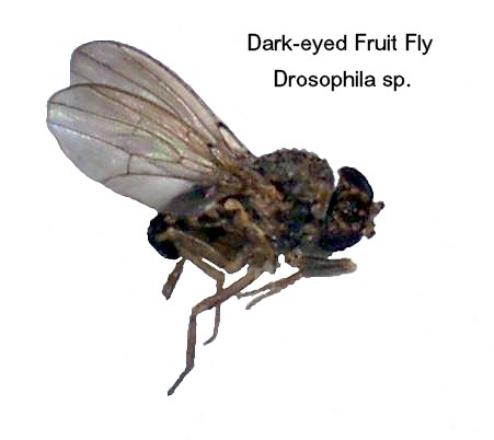 Dark-eyed Fruit Fly