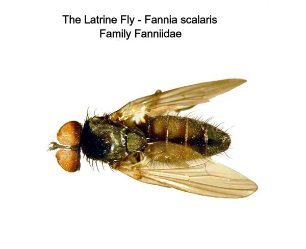 Latrine Fly