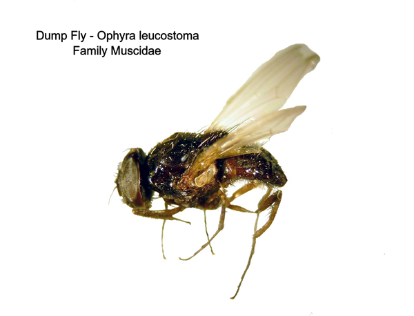 Dump Fly