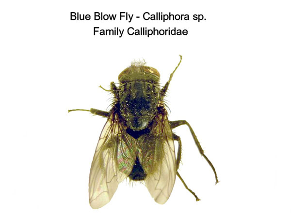 Blue Blow Fly