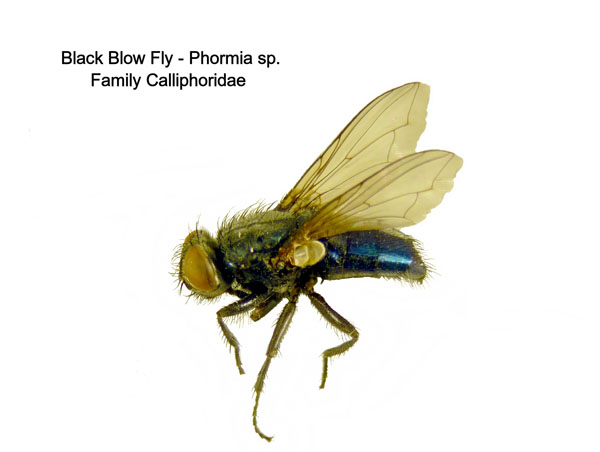 Black Blow Fly