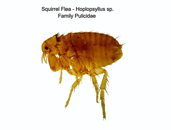 Squirrel Flea