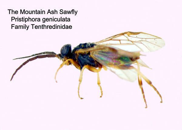 Mountain-ash Sawfly