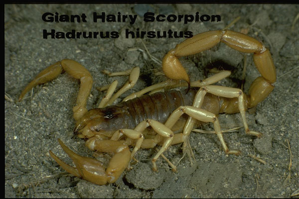 Arizona hairy scorpion