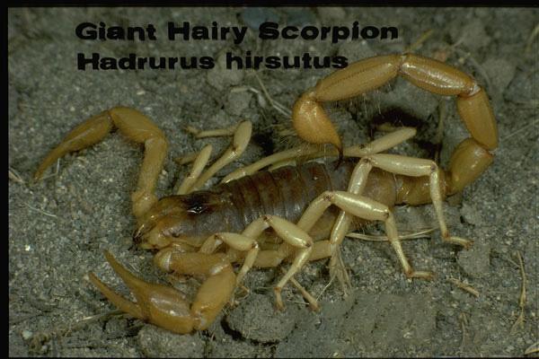 Arizona hairy scorpion