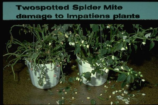 Twospotted Spider Mite