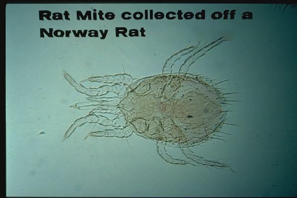 Tropical Rat Mite