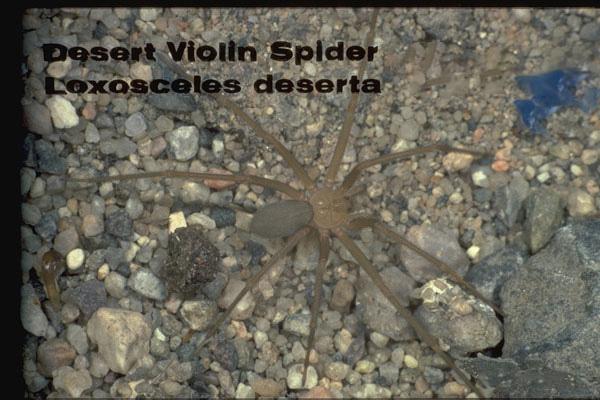 Desert Recluse Spider