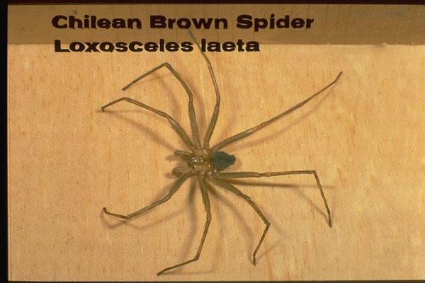 Chilean Recluse Spider