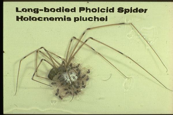 Cellar Spiders