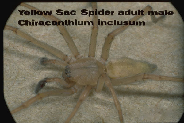 Yellow Sac Spiders