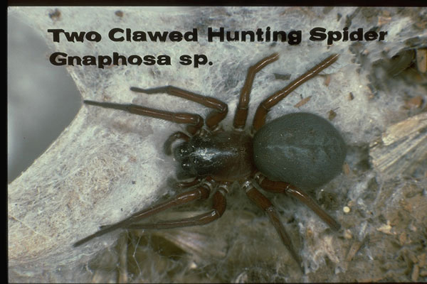 Ground Spiders