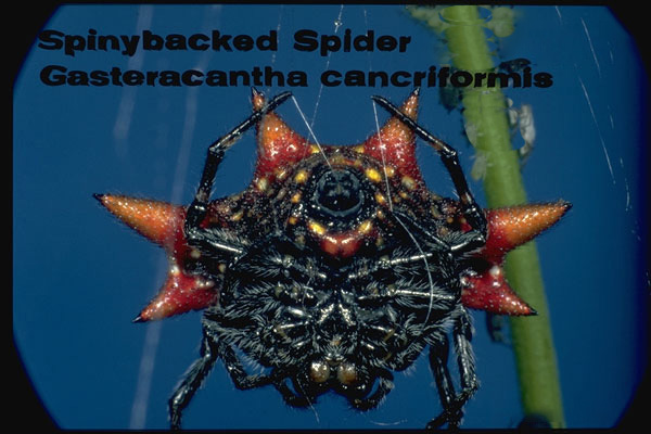 Spinybacked Spider